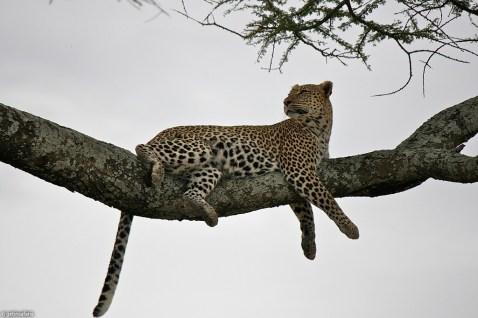 leopard_5f