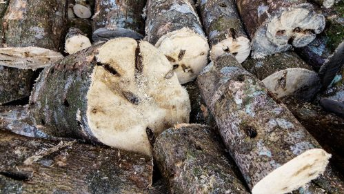 Agarwood tree trunk
