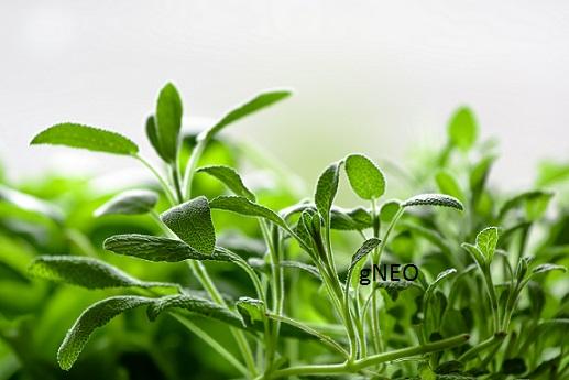 Organic Sage Dalmatian Essential Oil
