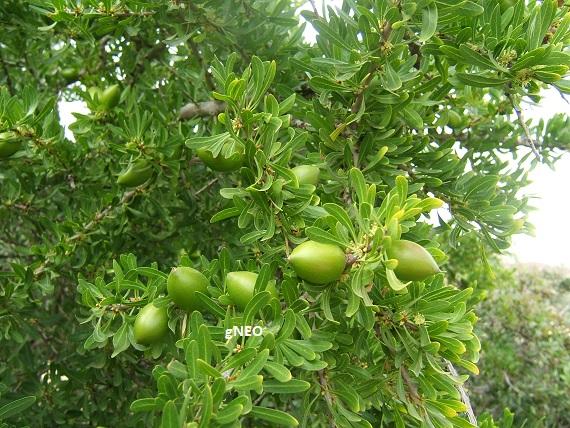 Organic virgin deodorized argan carrier oil