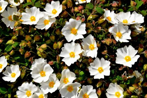 Organic Cistus Essential Oil