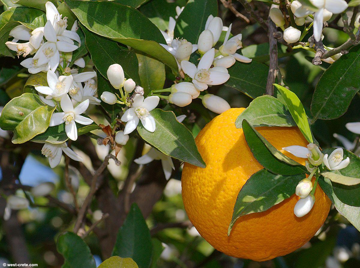 Neroli orange flower