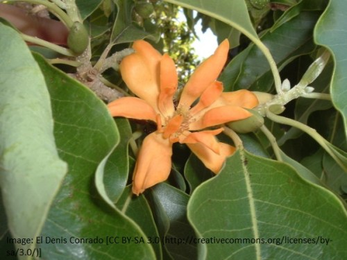 Magnolia - Champaca