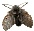 drain-fly-lifespan