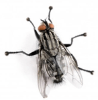 flesh-fly-lifespan