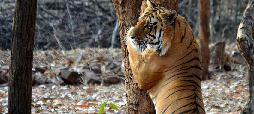 Inde Voyage Safari Tigres Au Madhya Pradesh GeTS Holidays