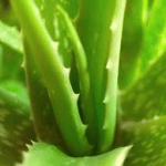 Healthy Aloe Vera Cactus to reduce inflammation and symptoms of allergies, bronchitis, and asthma