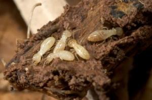 Termites in Toronto