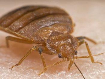 Toronto-Bedbugs