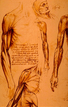 Leonardo anatomy muscle drawing