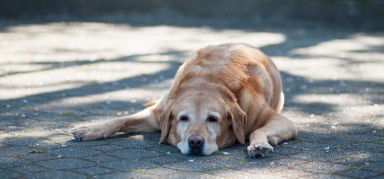 Hoe kun je jouw hond het beste beschermen tegen de hitte?