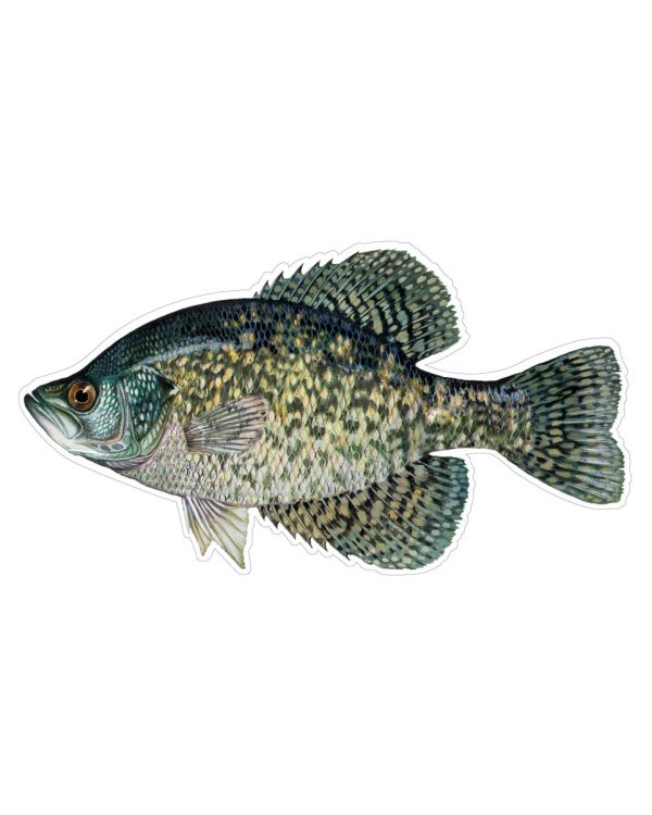 """Black Crappie Fish Magnet or Sticker for Indoor or Outdoor Use 8"""" x 4"""""""