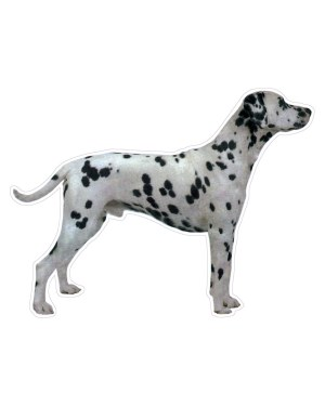 """Dalmatian Magnet or Sticker for Indoor or Outdoor Use 6"""" x 5"""""""