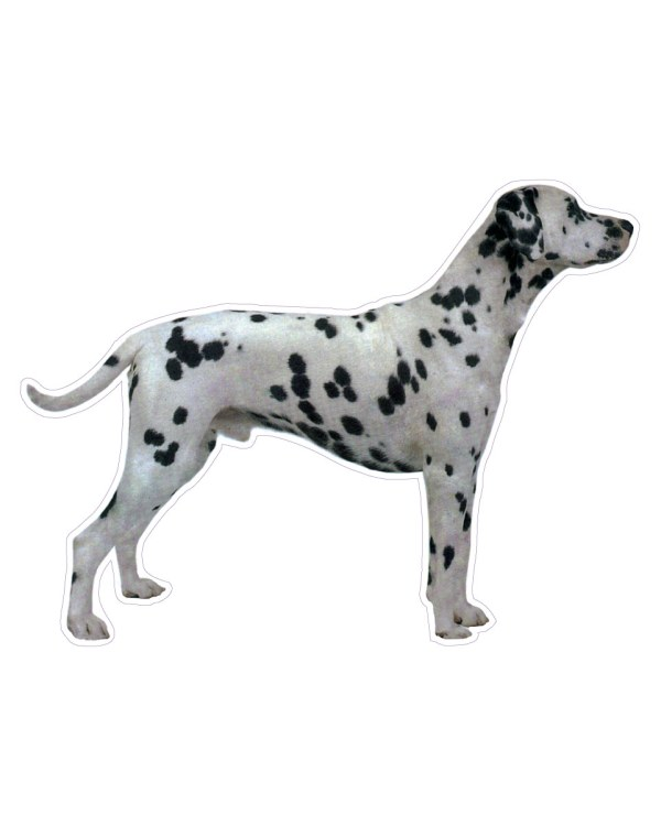 "Dalmatian Magnet or Sticker for Indoor or Outdoor Use 6"" x 5"""