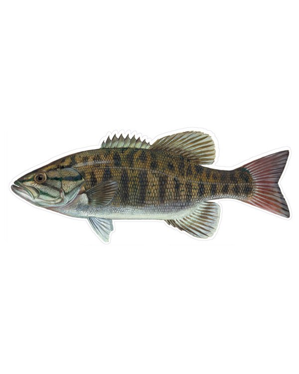 """Small Mouth Bass Magnet or Sticker for Indoor or Outdoor Use 9"""" x 4"""""""
