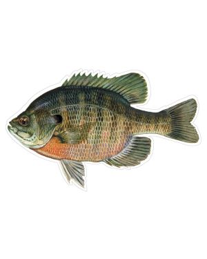"""Bluegill Sunfish Magnet or Sticker for Indoor or Outdoor Use 8"""" x 4"""""""