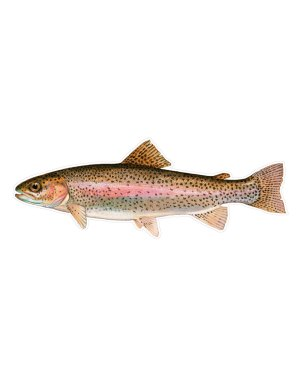 "Rainbow Trout Magnet or Sticker for Indoor or Outdoor Use 9"" x 3"""