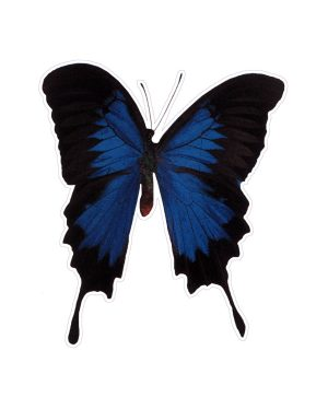 "Blue Butterfly Magnet or Sticker for Indoor or Outdoor Use 6"" x 5"""