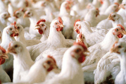 Veterinary Services call for collaboration to fight bird flu in Ghana