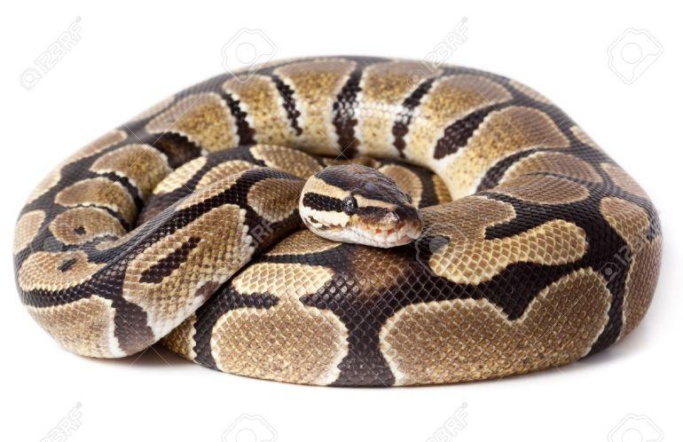 Royal-Python-or-Ball-Python-Python-regius-in-studio-against-a-white-background--Stock-Photo