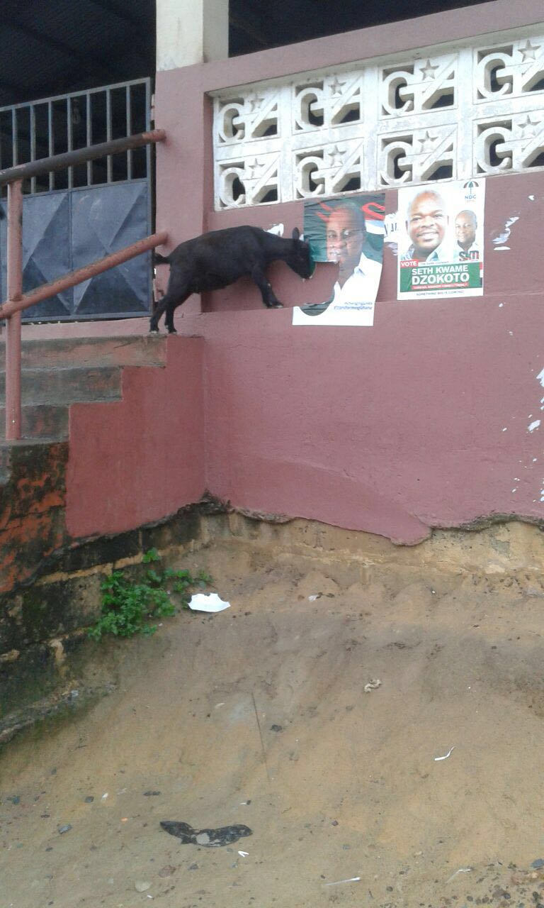 Goat Chewing Mahama's Poster