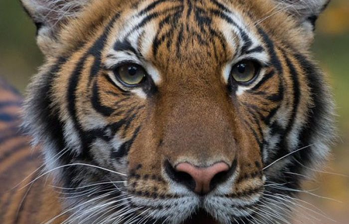 4 Years Old Tiger Nadia Becomes The First Tiger To Test Positive For Covid-19