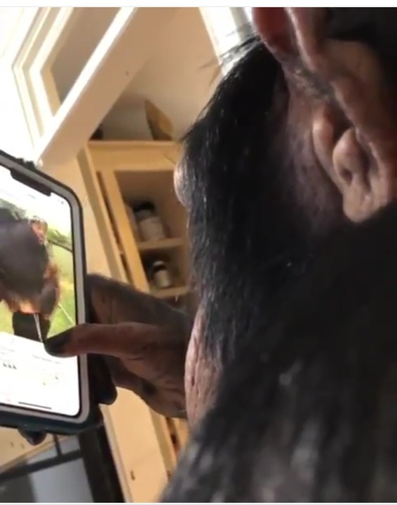 chim3 - Chimpanzee Pictured Updating His Instagram Status And Watching Video