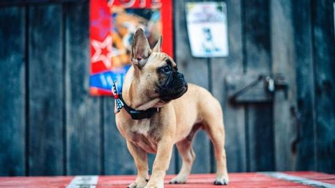 Bizarre: French bulldog elected as mayor of Kentucky town