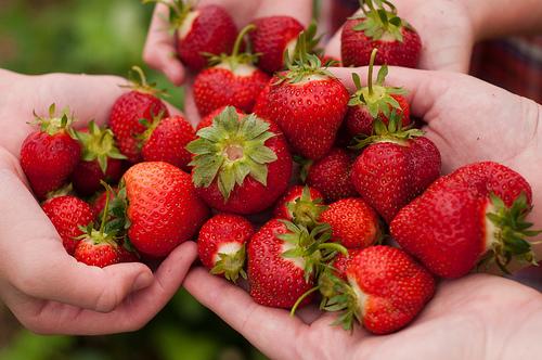 recolte-fraises