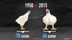 L'età media di vita di un pollo prima di essere macellato, nel 1950 e oggi.