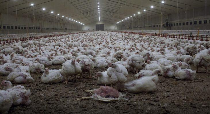 Uno degli allevamenti intensivi di polli in Italia