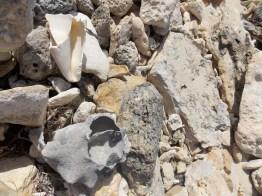 Broken conch shells, April 2016