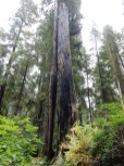 One burned out redwood trunk at Jedediah Smith Redwoods State Park.
