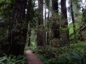 The trail passes through a grove of magnificent redwoods at Jedediah Smith Redwoods State Park.