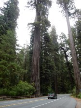 It's hard to capture an entire redwood at Jedediah Smith Redwoods State Park. I included the passing car for scale.