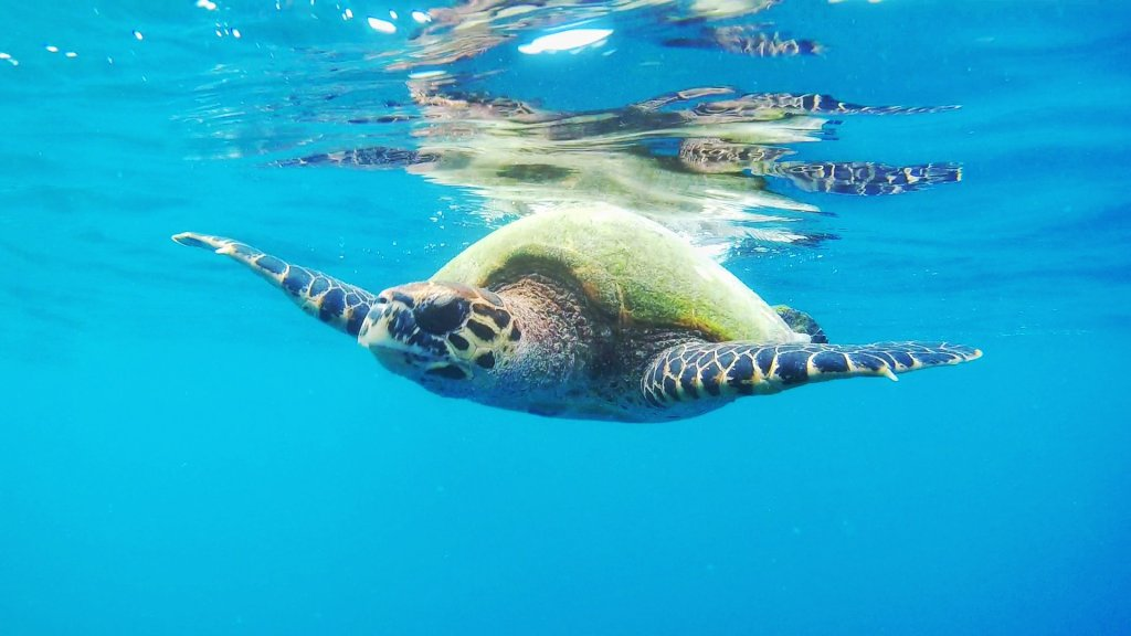 Nuotare con le tartarughe maldive