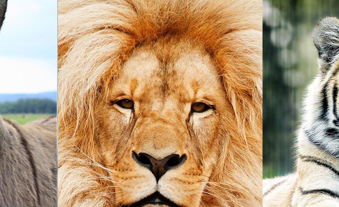 La storia dell'asino e della tigre