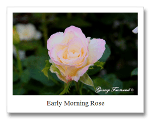 Early-Morning-Rose-copy.png