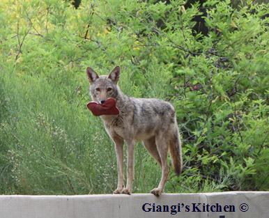 Coyote-copy-8x6.JPG