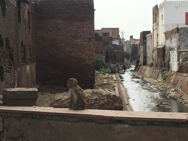 Monkeys roaming around the town waiting to be feed