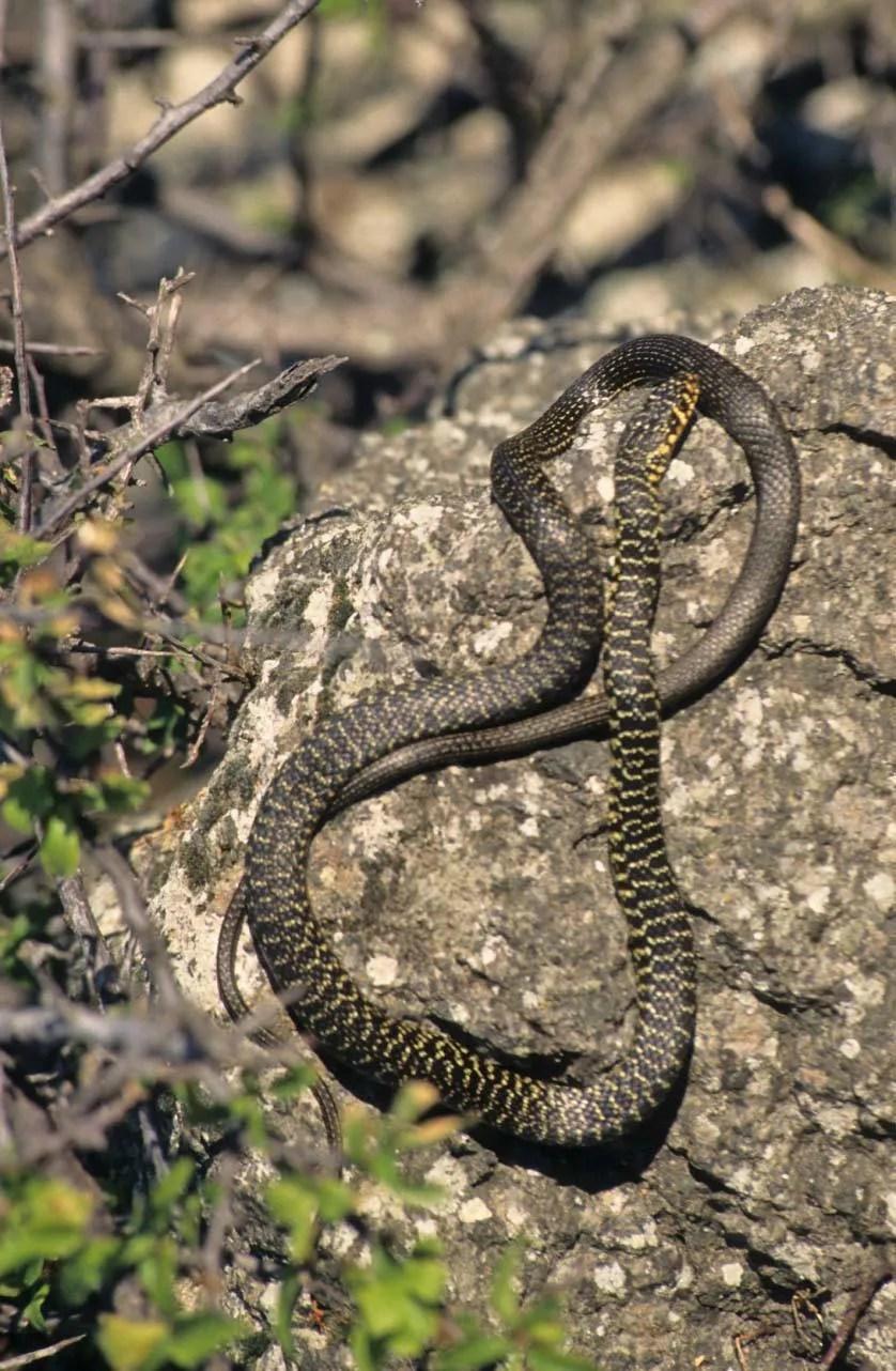 Il biacco profugo a sua insaputa dalla puglia a milano for Serpente frustone