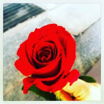 Rosa rosso sangue