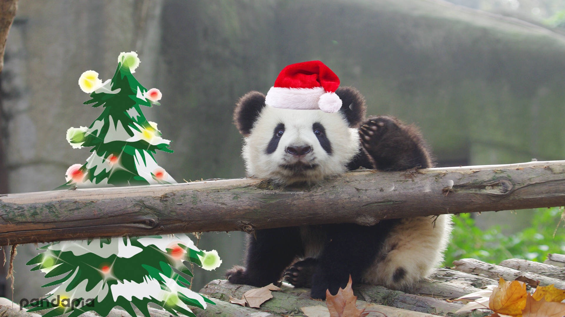 Merry Christmas From Panda Family Giant Panda Channel