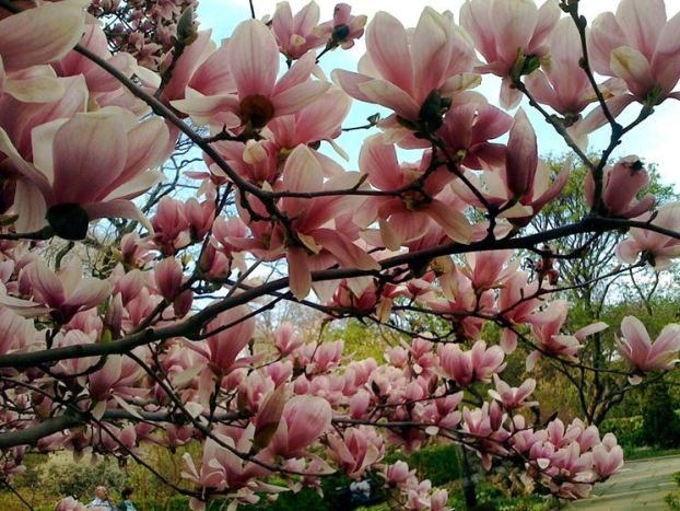 la magnolia fiorisce a fine inverno ed è in grado di regalare magnifiche note di colore al giardino con i suoi grandi e numerosi fiori rosa e bianchi