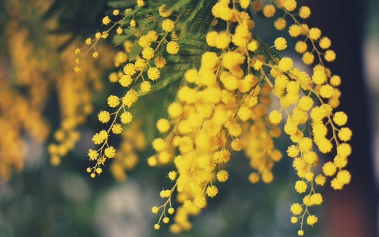 Coltivare La Mimosa Acacia Dealbata Piante Da Giardino