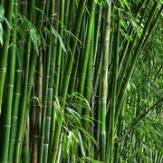 Diserbare Il Bambù Domande E Risposte Giardino