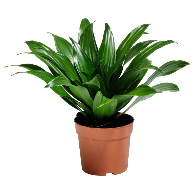 Indoor Plants Jade