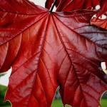L'Acero Rosso