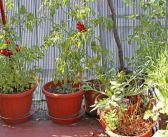 MINI-GUIDA – Coltivare i pomodori in vaso? Bello e possibile!