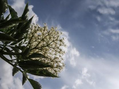 Elderflower in the field